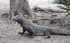 危険生物だけど実は可愛い!現代に生きる恐竜・コモドドラゴンに会いに行くツアー