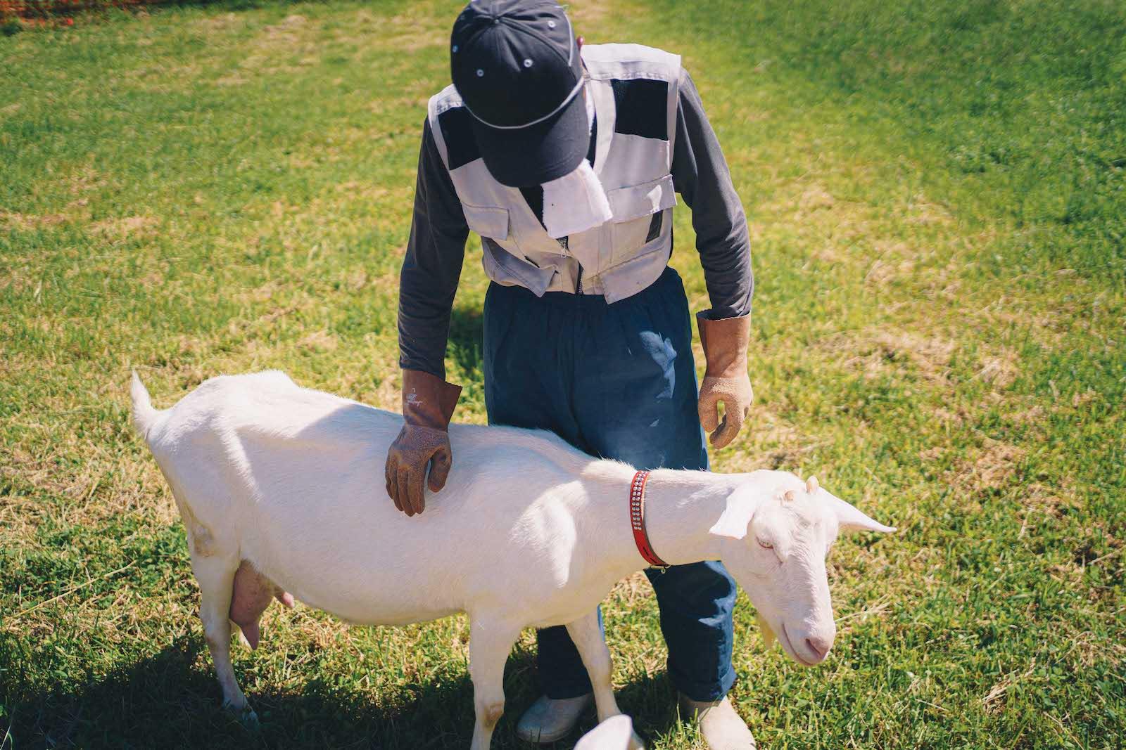 夏の乗鞍高原で放牧しているヤギ