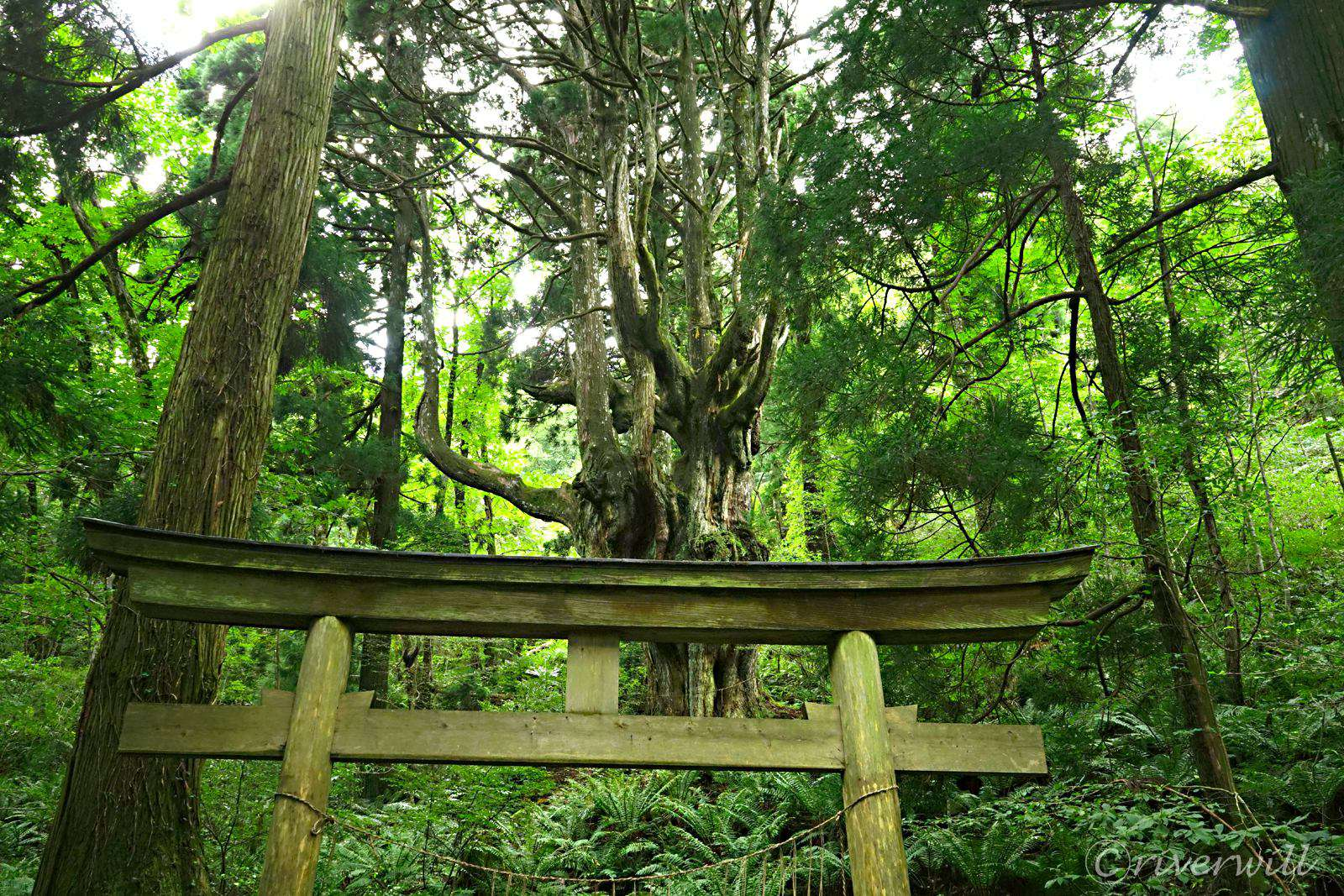 乳房杉が御神体の岩倉神社
