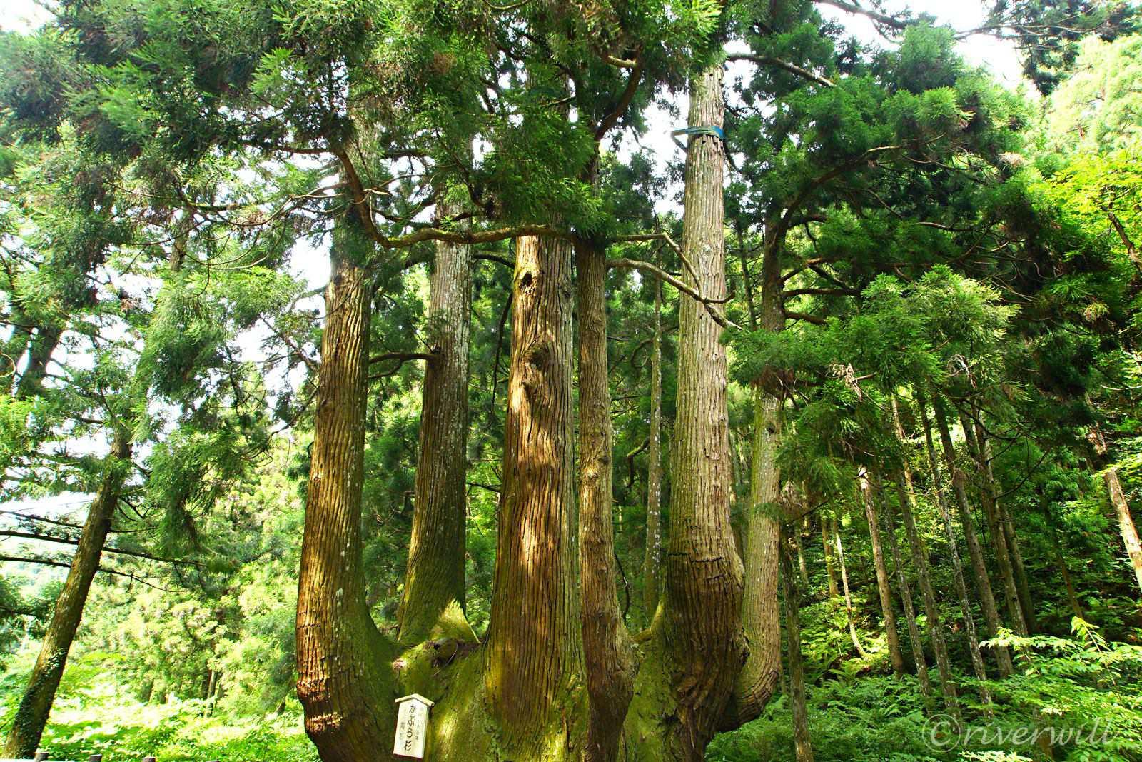 中村のかぶら杉