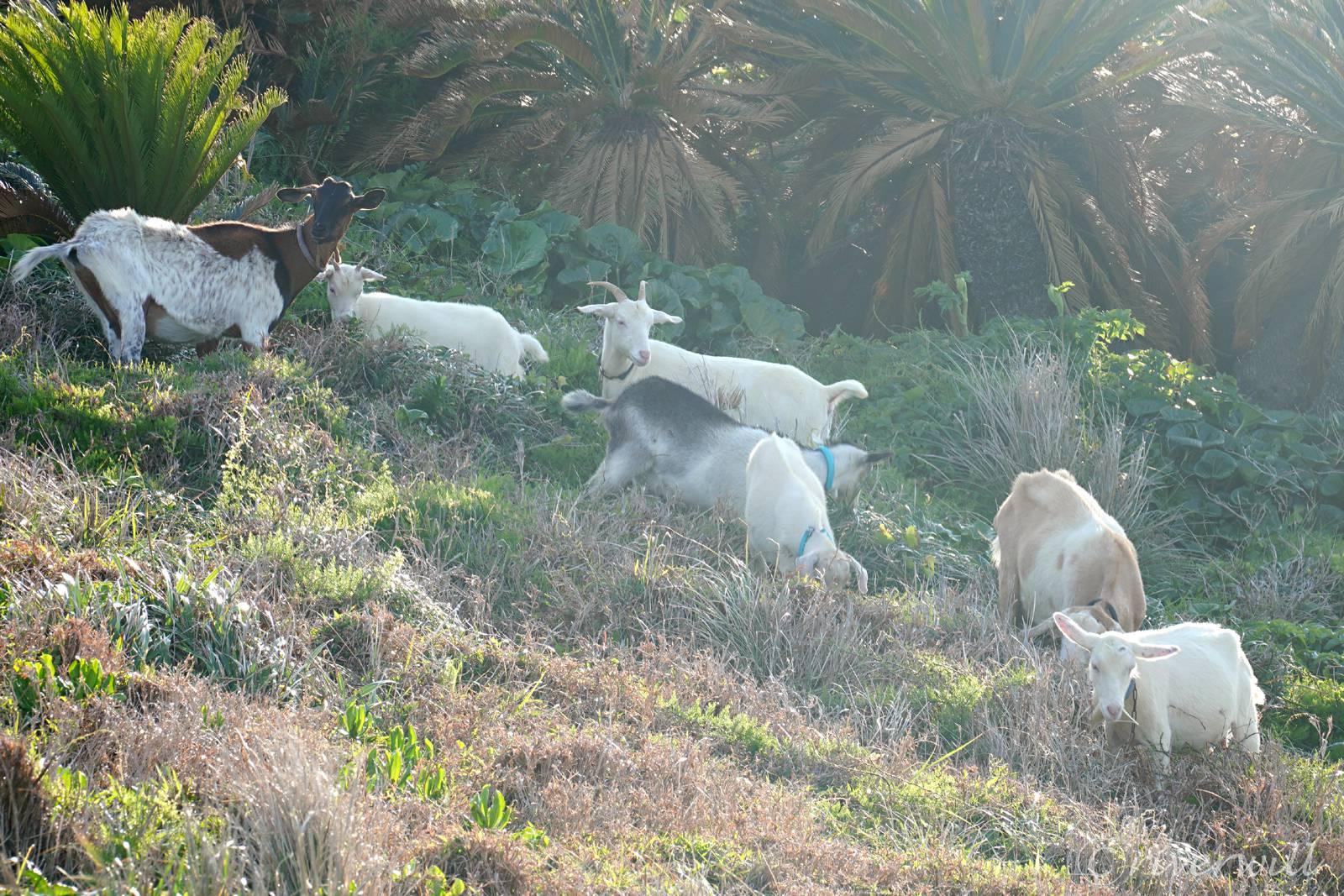 放し飼いにされたヤギたち