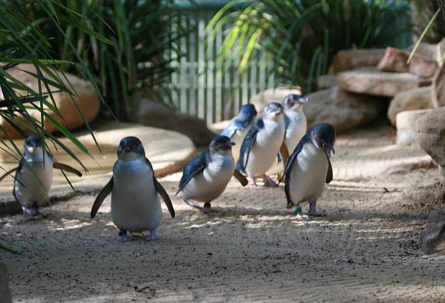 メルボルンのフィリップ島自然公園にいるちびっこペンギン