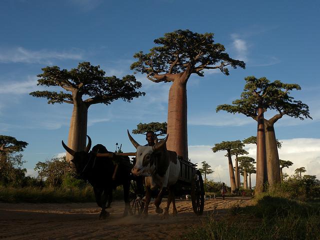 バオバブ並木道 マダカスカル 世界遺産