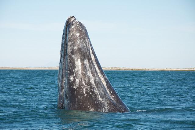 エル・ビスカイノのクジラ保護区