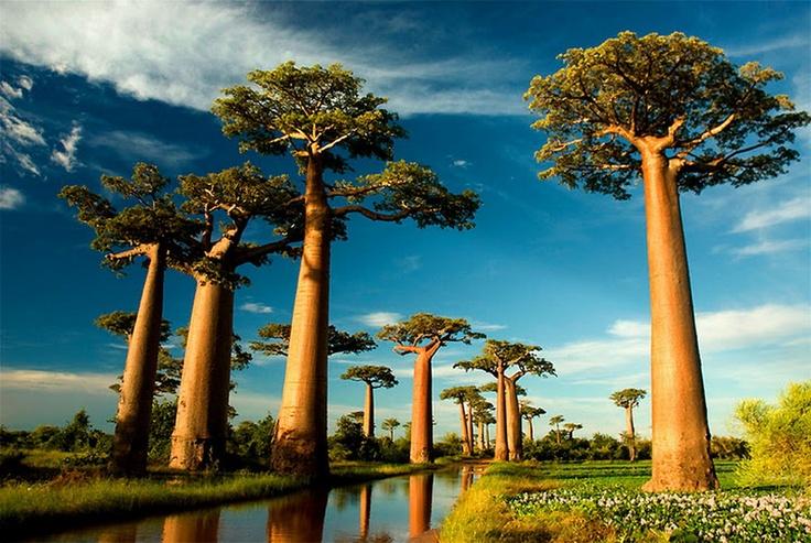 Baobab45