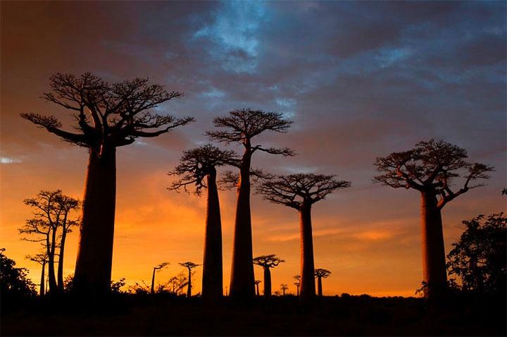 Baobab6