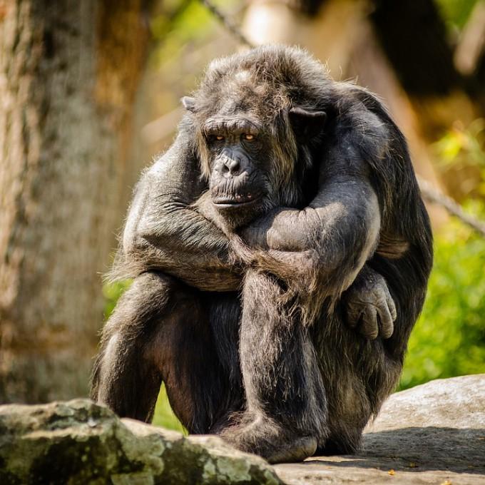 chimpanzee-978809_960_720