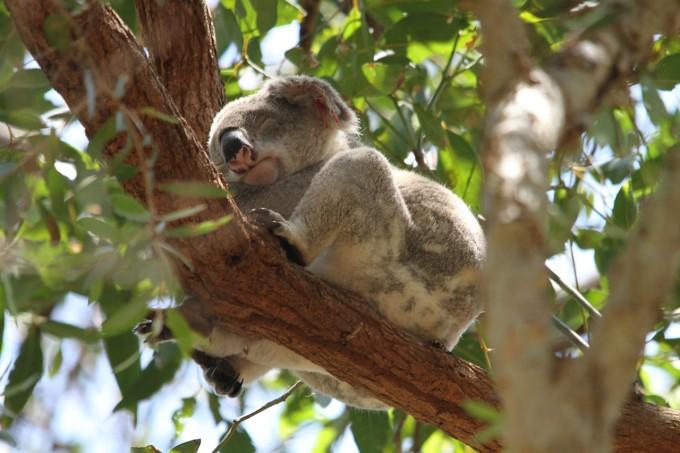 koala-185780_1280