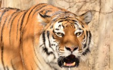 フロリダ州タンパのブッシュガーデンズで猛獣と対決!あなたの腕力はどれくらい?
