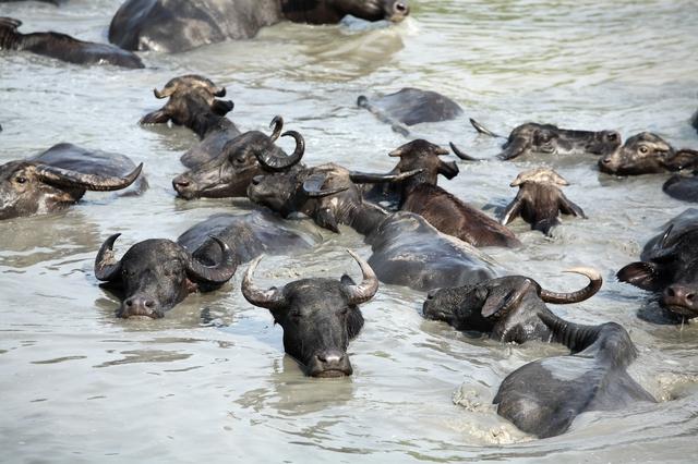 water buffalo in river.