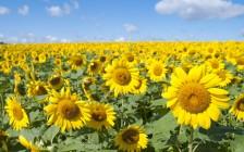 日本国内の「ひまわり畑の名所」28選