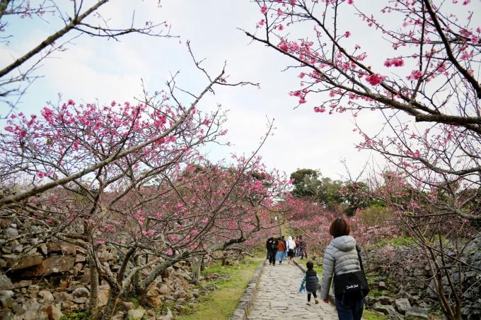 沖縄で咲く桜