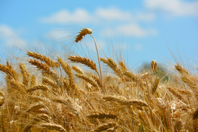 wheat-173366_1920