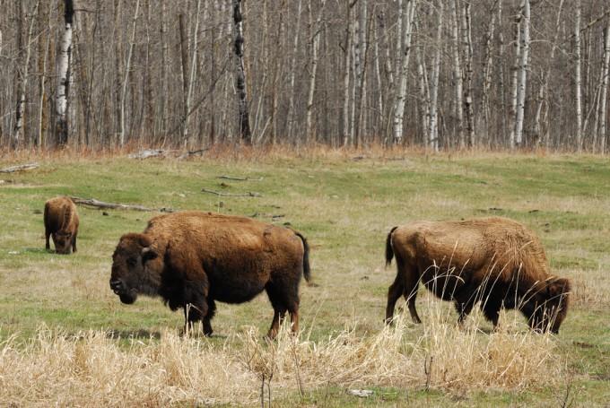 ウッド・バッファロー国立公園